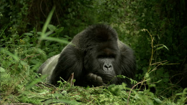 a gorilla rests with its chin on its hand. - primate stock videos & royalty-free footage