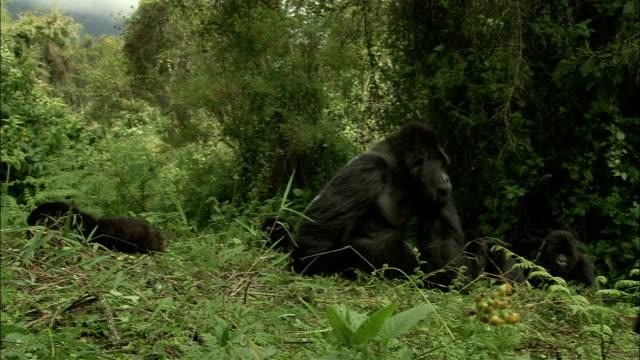vídeos de stock, filmes e b-roll de a gorilla scratches its head and crawls past other gorillas in a jungle. - moving past