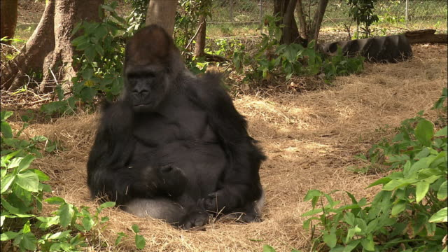 Gorilla scratching face and walking in enclosure / Monkey Jungle / Miami, Florida