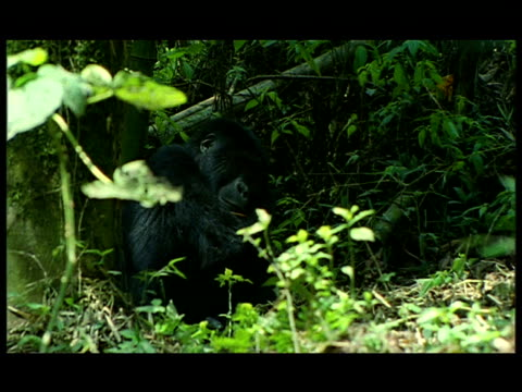 a gorilla sits in the shade of a jungle floor and begins to pound its chest. - gorilla stock-videos und b-roll-filmmaterial