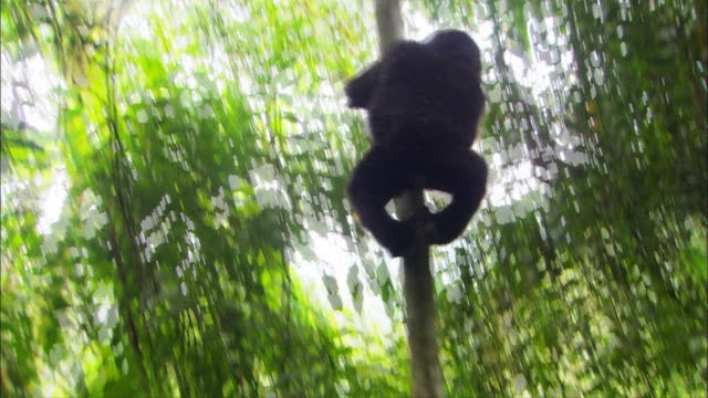 a gorilla slides down a tree trunk. - sliding stock videos & royalty-free footage