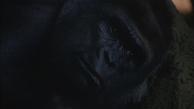 A gorilla surveys its surroundings.