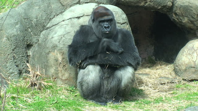 gorilla - zoo stock videos & royalty-free footage