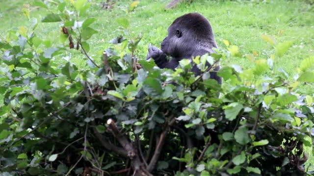 gorilla - obscene gesture stock videos and b-roll footage