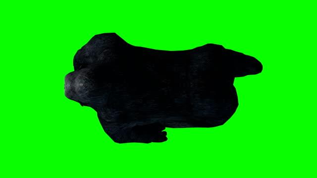 Gorilla zu Fuß Greenscreen (Endlos wiederholbar)