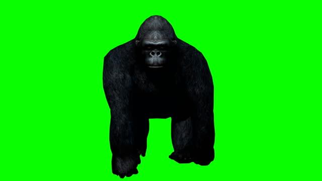 gorilla walking green screen (loopable) - green matte stock videos & royalty-free footage