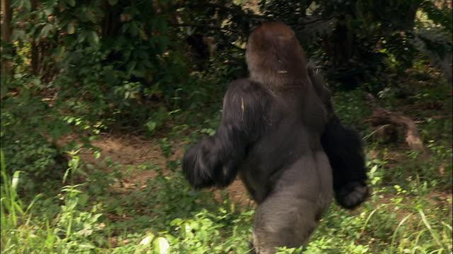 Gorilla walking in enclosure and sitting down / Monkey Jungle / Miami, Florida