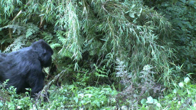 A gorilla walks beneath a canopy of leaves and vines. Available in HD.