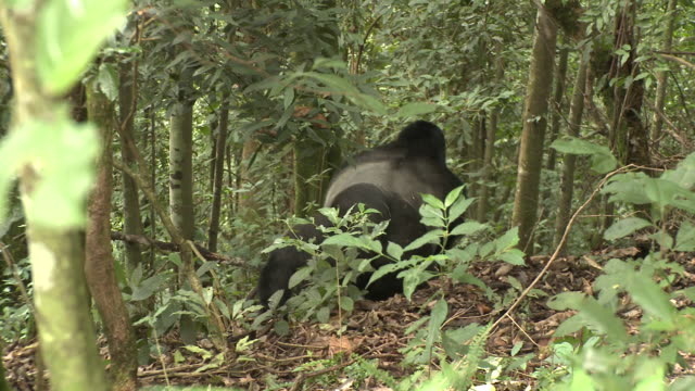 A gorilla walks through the jungle. Available in HD.