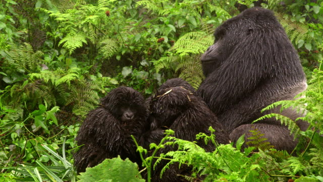 gorilla with babies - group of animals stock videos & royalty-free footage