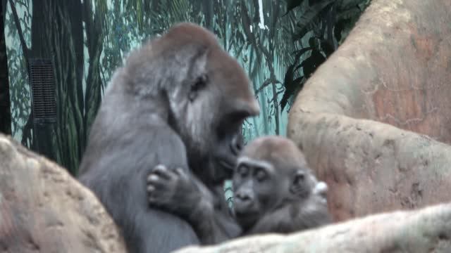gorillas capture our fascination and our hearts as we watch them and we are reminded in many ways of ourselves. capable of very human behaviours and... - human nose stock videos & royalty-free footage