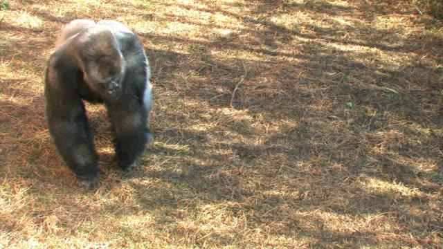 Gorilla's excersize