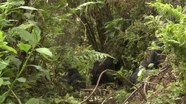 Gorillas feed in the forest of Volcanoes National Park of Rwanda. Available in HD.