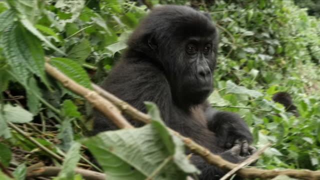 gorillas in the wild - コンゴ民主共和国点の映像素材/bロール