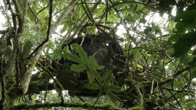 gorillas in trees in a drc rainforest - 南キブ点の映像素材/bロール