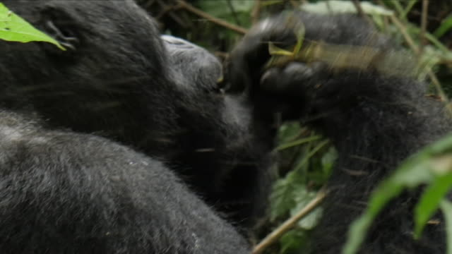 Gorillas in trees in a DRC rainforest