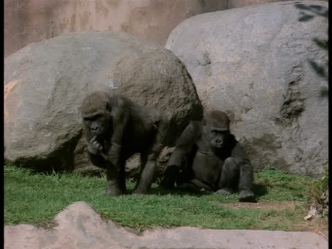 Gorillas move around their cage at a zoo.