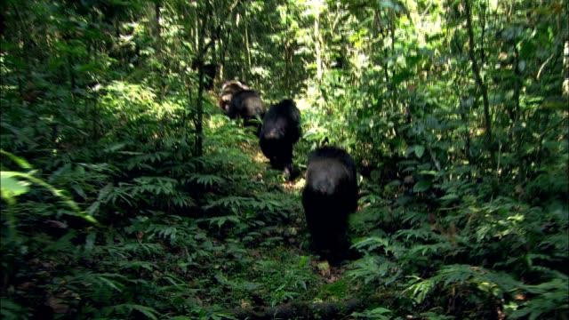 gorillas walk through a dense jungle. - gorilla stock-videos und b-roll-filmmaterial