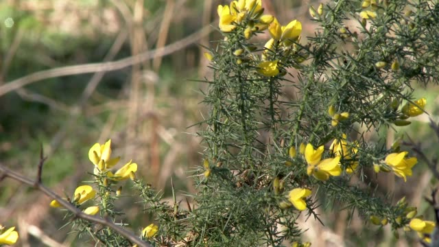 gorse plant blowing the wind