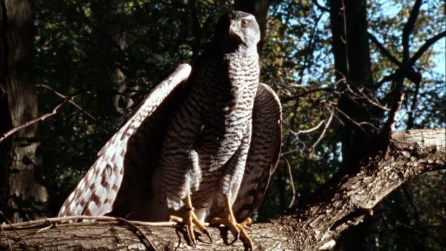Goshawk flies through the forest