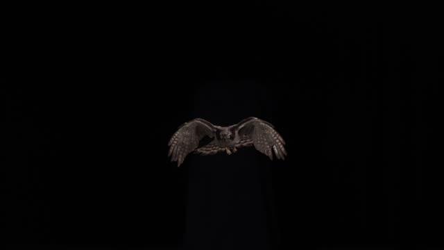 ws slo mo goshawk flying against black background / seoul, south korea - black background stock videos & royalty-free footage