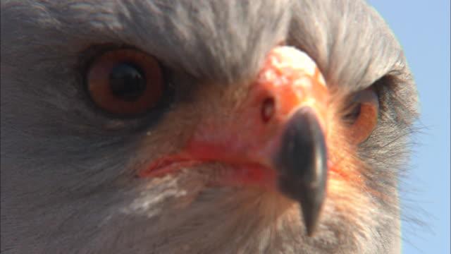 ecu, goshawk, headshot, south africa - extreme close up stock videos & royalty-free footage