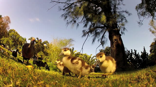 gosling and ibis - gosling stock videos & royalty-free footage