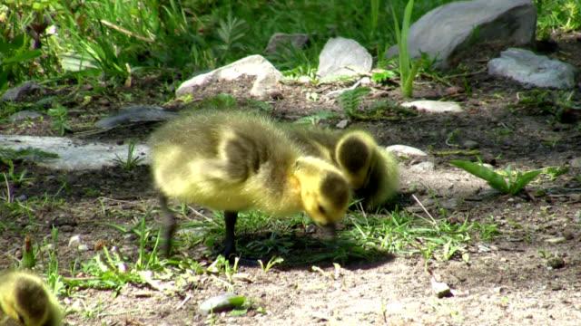 gosling - gosling stock videos & royalty-free footage
