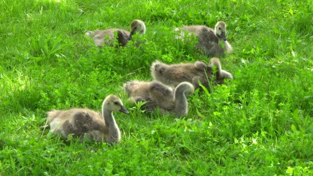 goslings: canadian goose reproduction season during springtime - 雁点の映像素材/bロール