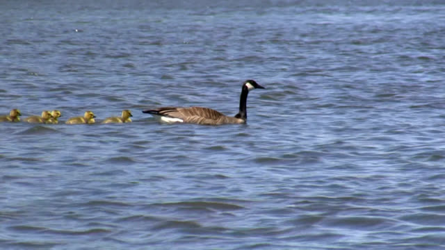 goslings - canada goose stock videos & royalty-free footage