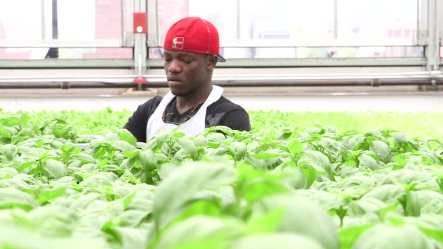 gotham greens facility on the roof of brooklyns flagship whole foods market in greenpoint new york on may 15 wide shot of a white female worker... - whole foods market stock videos and b-roll footage