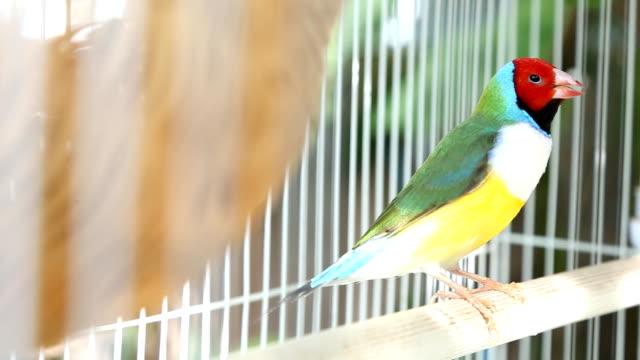 Gouldian finch bird