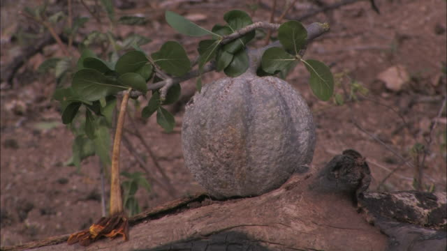 a gourd hangs from a slender plant over a bone on the ground. - gourd stock videos & royalty-free footage