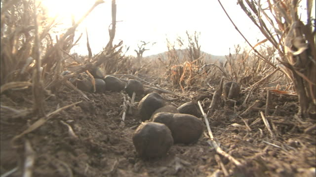 gourds litter the ground beneath tall stalks of dried vegetation. - gourd stock videos & royalty-free footage