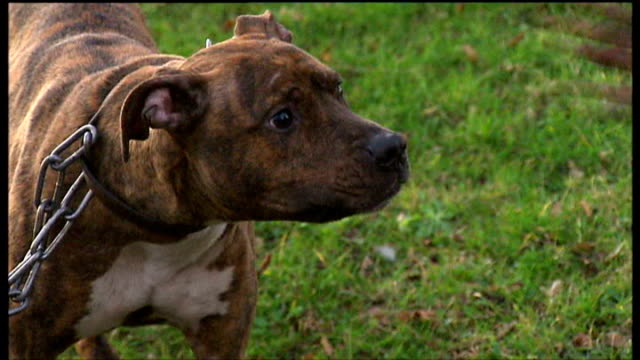 Government announces proposals to introduce life sentences for owners of killer dogs Essex Wickford Staffordshire bull terrier on chain snapping at...