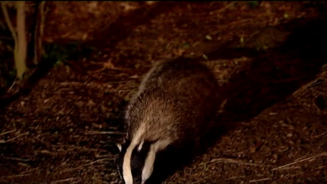government plans badger cull in rural areas affected by bovine tuberculosis; r27020806 england: night badger foraging in undergrowth - foraging stock videos & royalty-free footage