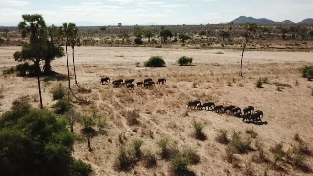 government proposes tough new restrictions on ivory sales t181217012 / ruaha national park elephants along on plain elephant feeding elephants - 象牙点の映像素材/bロール