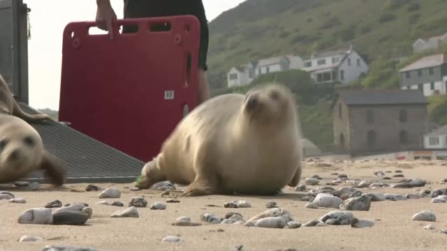 government to create 41 marine conservation zones as world oceans day is celebrated england cornwall ext rescue seals released onto beach seals... - rilasciare video stock e b–roll