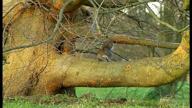 government urged to step up fight against alien species r10030703 grey squirrel sitting on branch of tree rhododendrons - art stock-videos und b-roll-filmmaterial