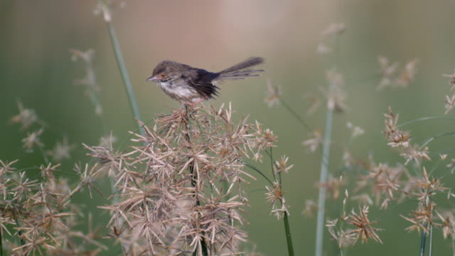 graceful prinia, jumping on dry thorny bush - とげのある点の映像素材/bロール