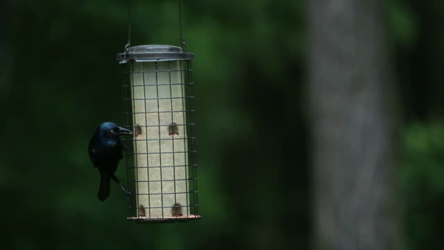 Grackle bird eats from a bird feeder