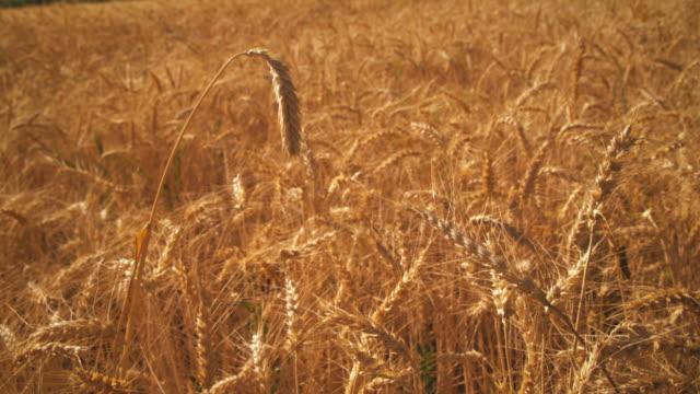 gradual zoom shot of wheat field. - プロボ点の映像素材/bロール