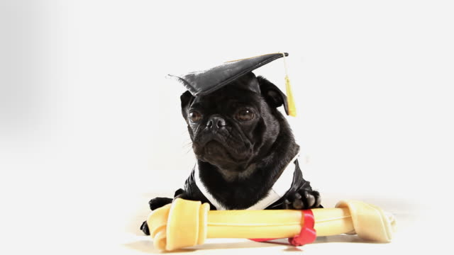 graduated pug dog - pet clothing stock videos & royalty-free footage