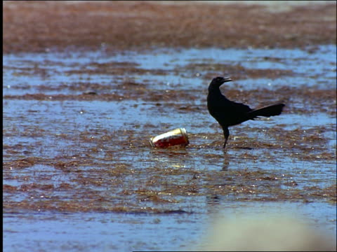 vidéos et rushes de graekle bird sticking beak in soda can on beach / padre island, texas - cinématographie