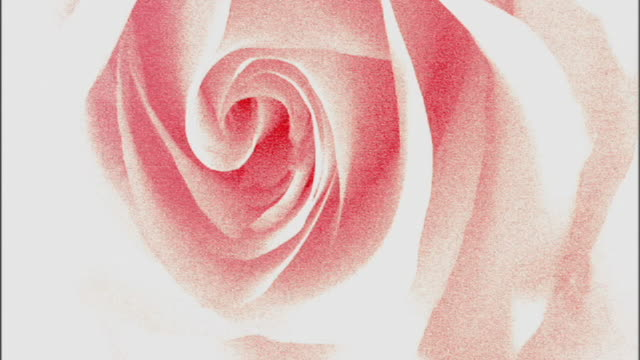 Grain effected extreme close-up of a rose fading to white.