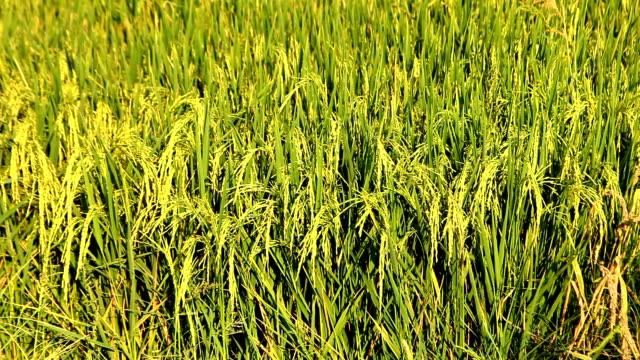 vídeos de stock e filmes b-roll de grão de arroz. - maior