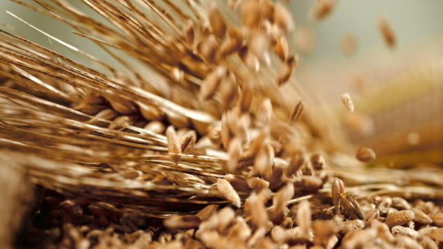 slo mo grains falling on wheat ears - cereal plant stock videos & royalty-free footage