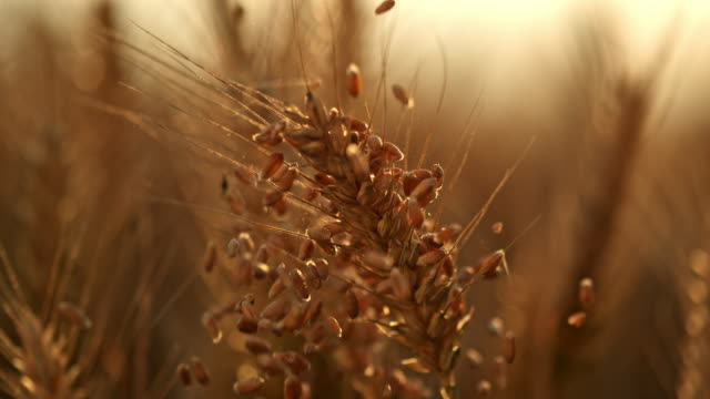 slo mo grains falling over an ear of wheat - cereal plant stock videos & royalty-free footage