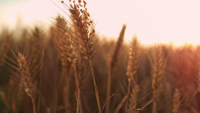vídeos y material grabado en eventos de stock de slo mo granos caer espigas de trigo - trigo