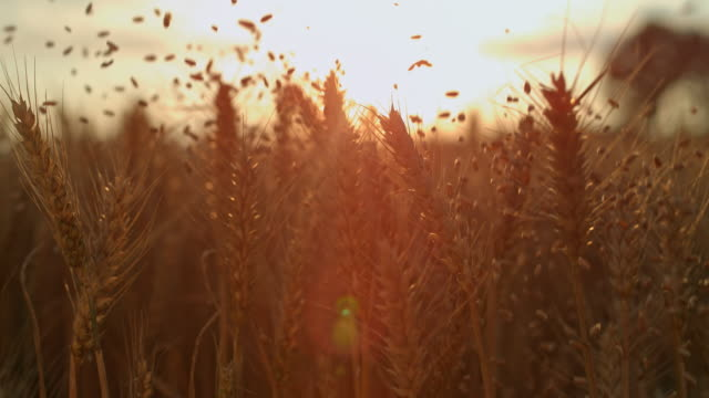 slo mo grains falling over ears of wheat - cereal plant stock videos & royalty-free footage